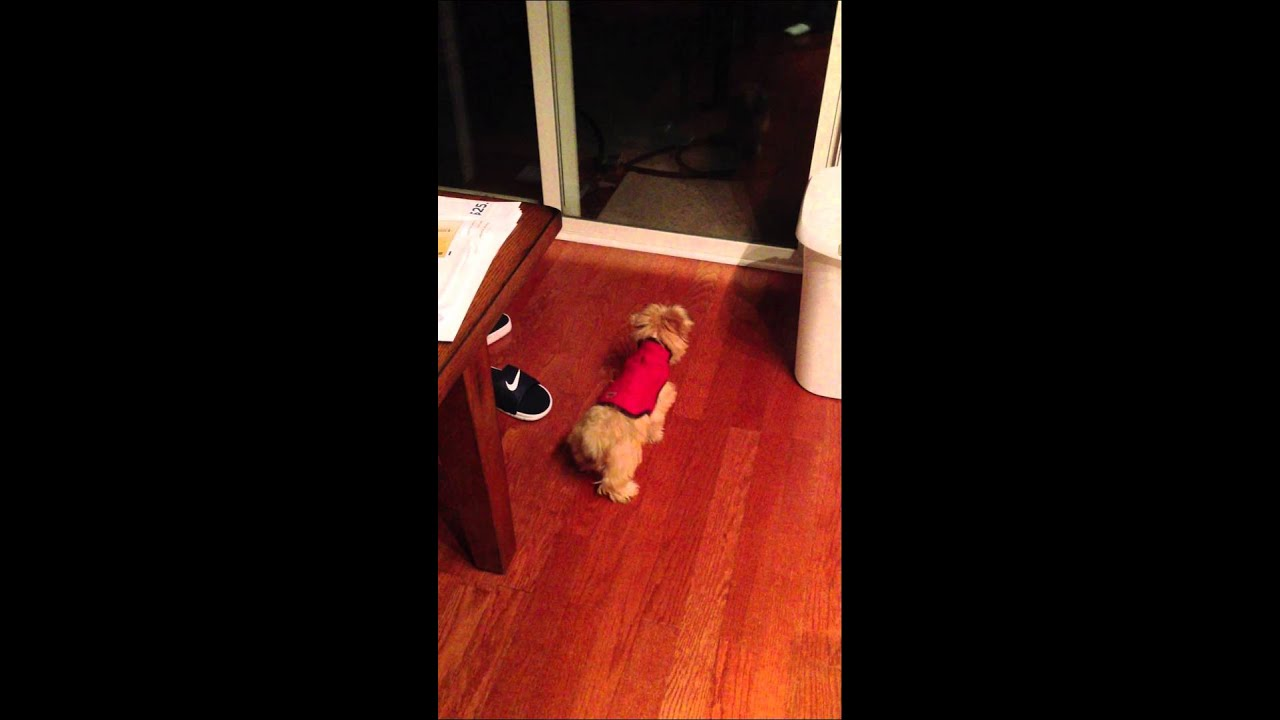 Yorkie Poo Barking At Her Reflection Youtube