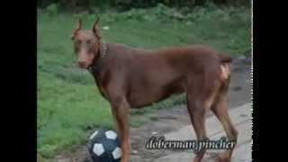 Doberman Pincher Puppies For Sale