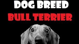Dog Breed - Bull Terrier [ita]