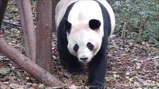 はじめまして!雄浜兄ちゃん 20181231 成都大熊猫繁殖研究基地