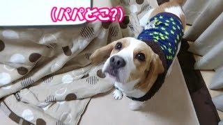 Beagle #ビーグル #うぃるさん そうきの持っているものが気になってほ...