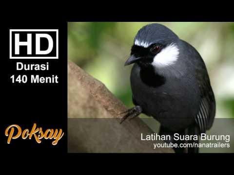 Suara Kicau Burung Poksay Terbaik Durasi Panjang ~ 140 Menit HD ~ Bird Sound Theraphy