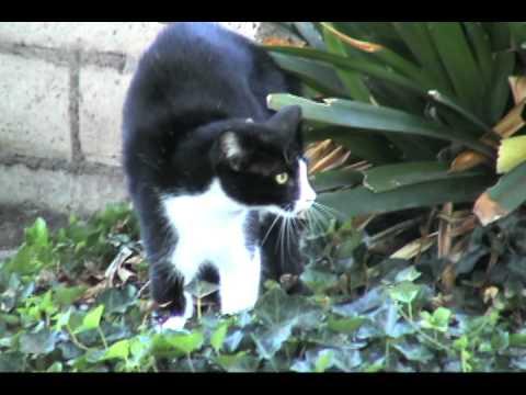 CRAZY CAT ATTACK