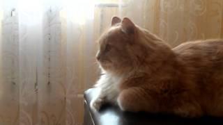 Парад победы в Москве смотрит кот-патриот
