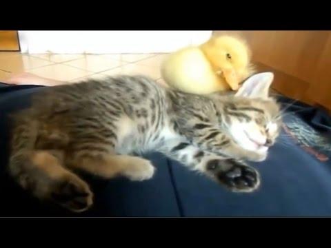Download Video kucing dengan anak bebek lucu banget