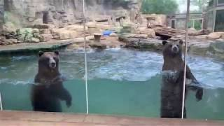 Grizzly bears at Centene Grizzly Ridge at the Saint Louis Zoo