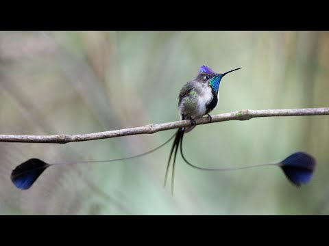 Peru Wildlife: Marvelous Spatuletail and Other Animals