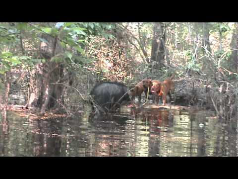 Live Action Hog dogs 2017 - YouTube