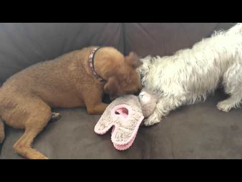 Former puppy mill dog learning to play - sweet!