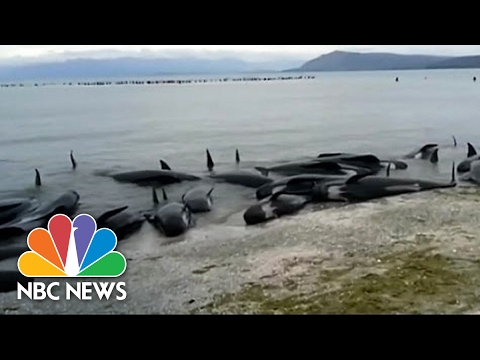 Hundreds Of Beached Whales Stranded In New Zealand | NBC News