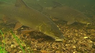 Barbel - Bait Dropping & Real Time Underwater Swim Build Up