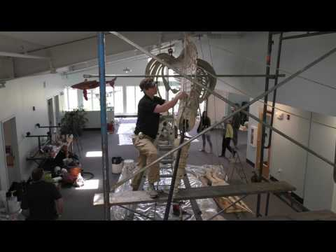 Installation of skeleton of humpback whale Spinnaker at the Hiebert Marine Lab