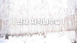 인제 자작나무숲(feat. 설경)