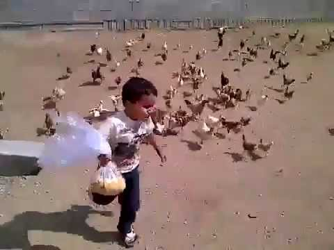Little Kid Running From Chickens