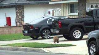 Coyote Eats Cat in Huntington Beach - Warfest.com Local News