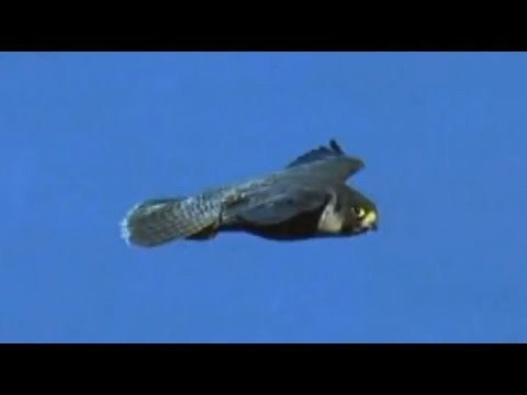 Falcon vs Pigeon - Falcon Attack Pigeon - YouTube