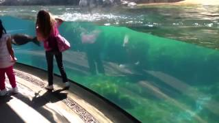 ზღვის ლომის გასაოცარი რეაქცია პატარა გოგონას წაქცევაზე