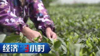 《经济半小时》今年春茶谁来采?(上) 20200319   CCTV财经