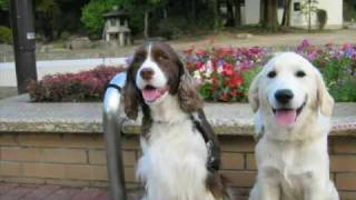 In Loving Memory of Our Springer Spaniel, Sylphie