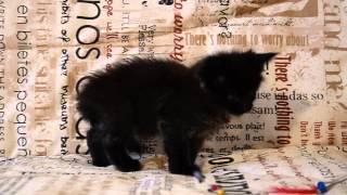 Мейн кун черный котенок