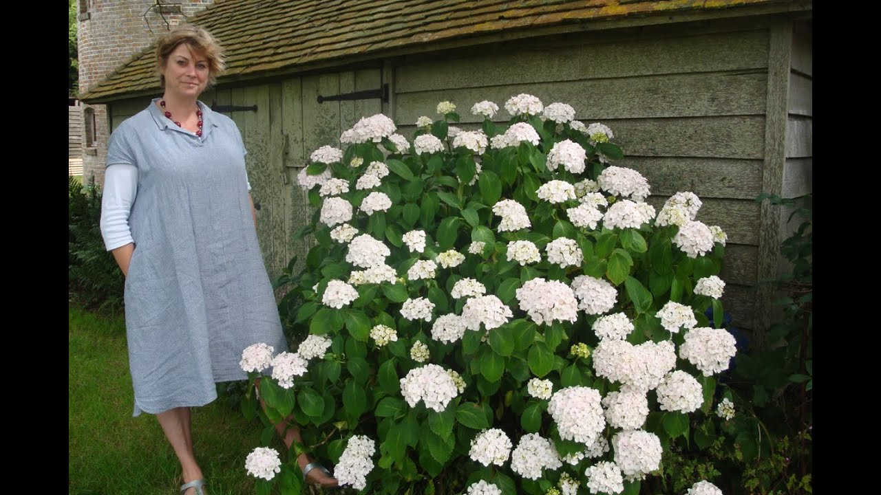 Favourite Perennials Hydrangea Madame Emile Mouill 232 Re Youtube
