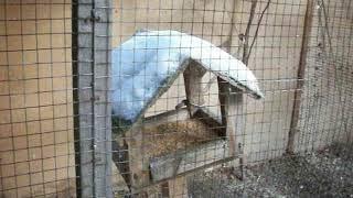 Зимовка волнистых попугаев в наружных вольерах