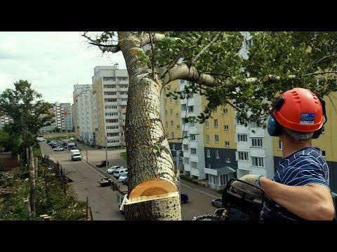 Спилили пятьдесят тополей! Остался последний! Как спилить дерево в Кирове?