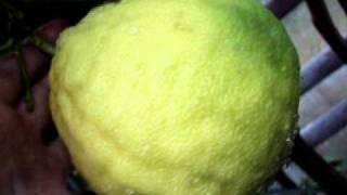 cytryna skierniewicka w uprawie szklarniowej owoce dla koneserów 2010