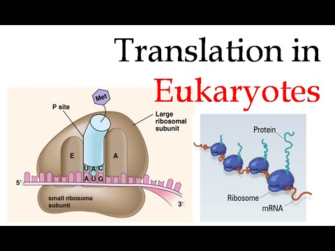 Protein translation in eukaryotes