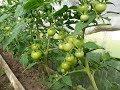 Томаты и Огурцы в одной теплице Практичный Огород