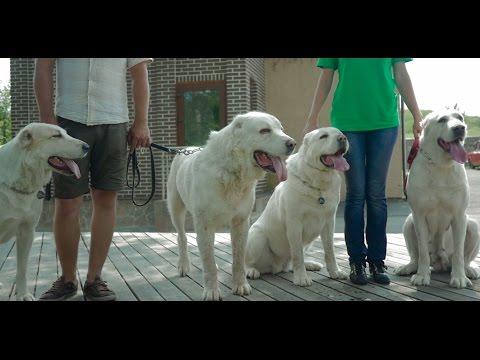 Алабай (среднеазиатская овчарка) ➠ Узнайте все о породе собаки