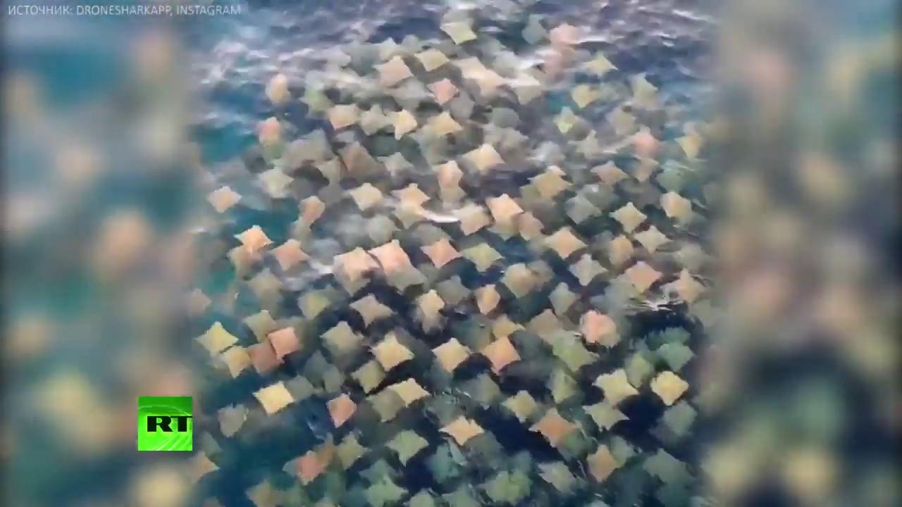 Беспилотник заснял сотни скатов-бычерылов у берегов Австралии