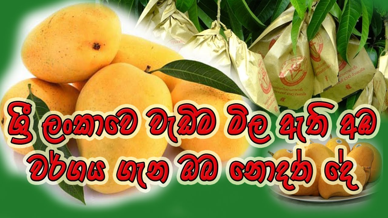 TJC Mango Cultivation in Sri Lanka(CIC Farm-Pelwehera )