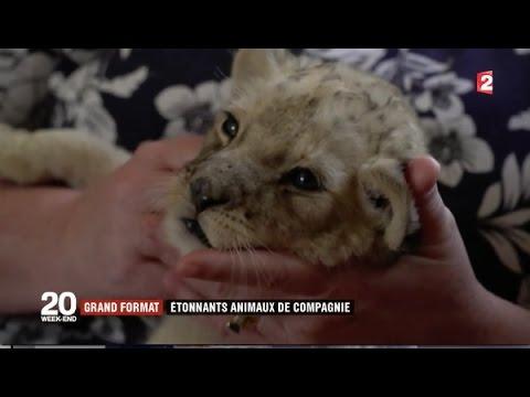Dubaï : des lions comme animaux de compagnie