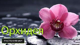 Фаленопсис. Как ухаживать за орхидеей?