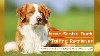 Nova Scotia Duck Tolling Retriever  A Beautiful and Energetic Dog Breed