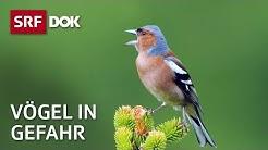 Das Schweigen der Vögel | Wie Pestizide heimische Vogelarten bedrohen | Doku | SRF DOK