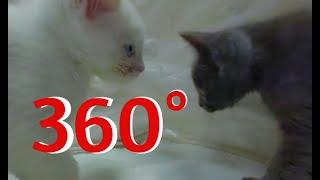 Battle of the Kittens in 360°