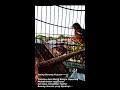 Kicauan Trotolan Anis Merah Belajar Ngeplong Membuat Burung Percaya Diri Gan Gacor Ngelawan  Mp3 - Mp4 Download