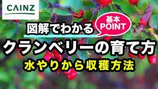 カインズ植物図鑑 クランベリーの育て方 thumbnail