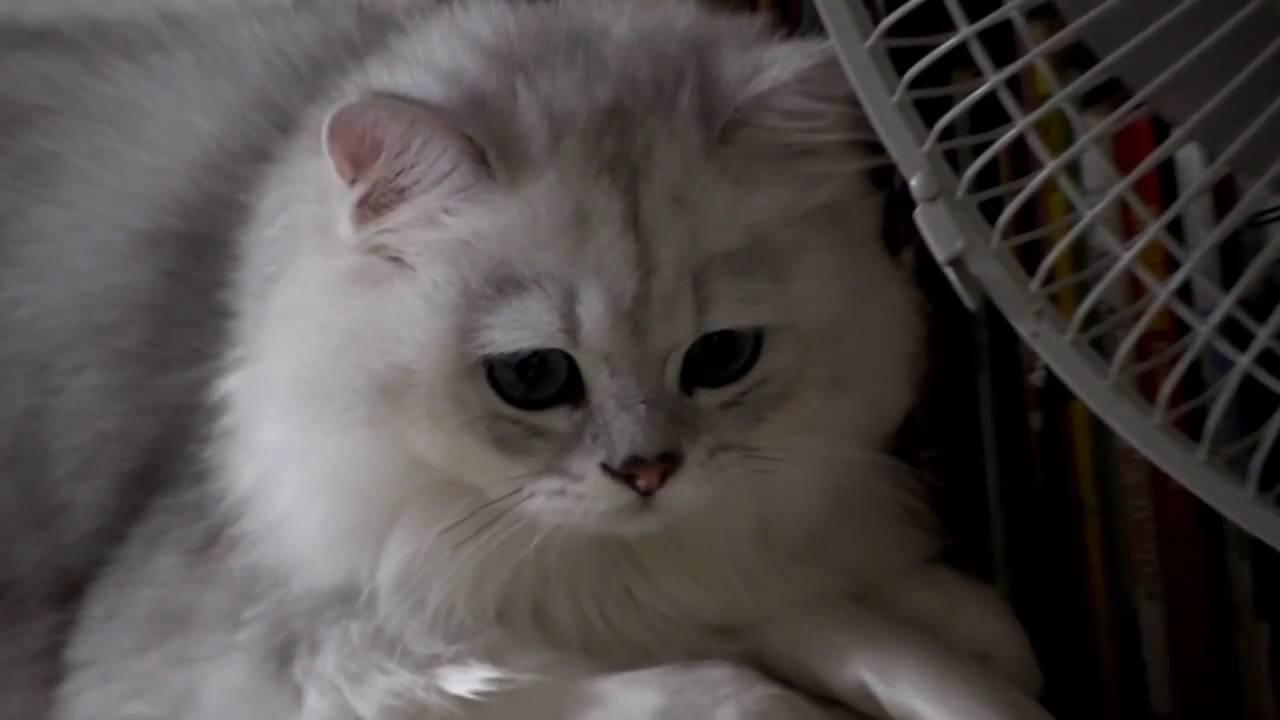 Male Silver shaded Chinchilla Persian Cat
