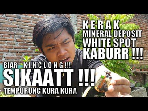 Mengobati WHITE SPOT / KERAK / MINERAL DEPOSIT Pada Kura Kura