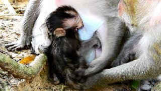 Carla Angry Big Bertha Drag Baby Charlee getting milk like this! Very Pity Baby Monkey Charlee!
