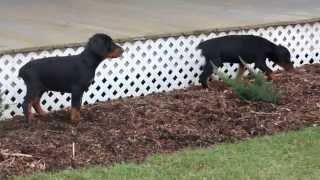 Doberman Pinscher Puppies For Sale