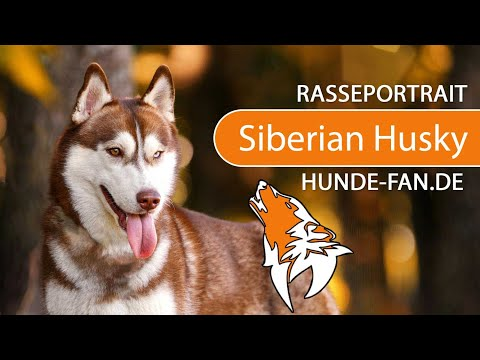 Siberian Husky [2019] Rasse, Aussehen & Charakter