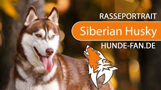 Siberian Husky [2019] Breed, Appearance & Character