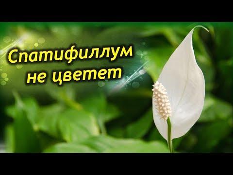 Как заставить спатифиллум цвести в домашних условиях