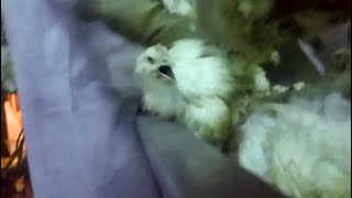 Amick Farms: High-Speed Chicken Slaughterhouse Exposed