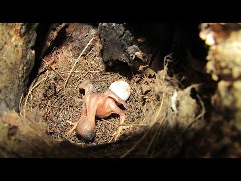 Вопрос: Как называется птица семейства кукушковых, что о ней известно, 5 букв?
