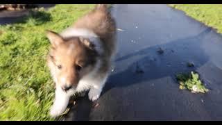 Sheltie running in slomo; Mia's 2021 litter, Puppy 1